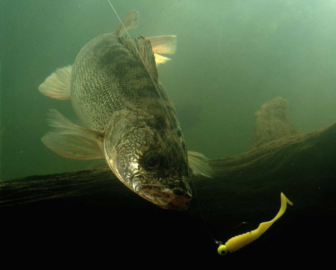 Walleye Underwater - Bill Lindner