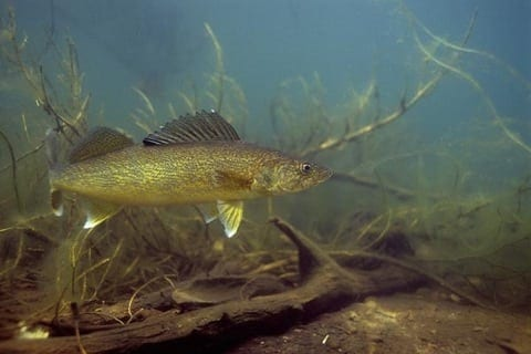 River Walleyes in High-Water Conditions  River Walleyes ...