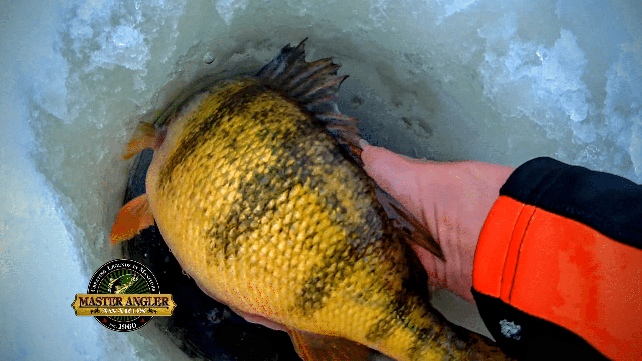 Jumbo Perch in Manitoba