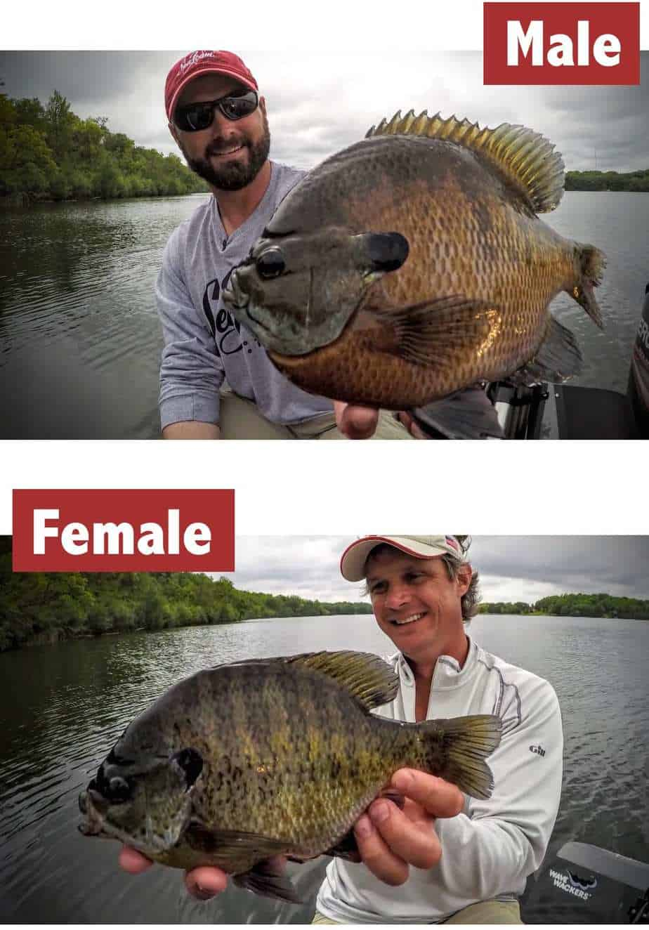 Male Bluegill vs Female Bluegill