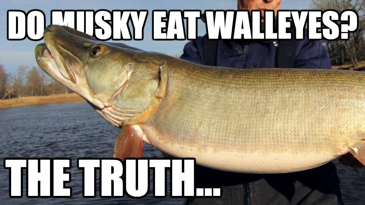 Musky Eating Walleye