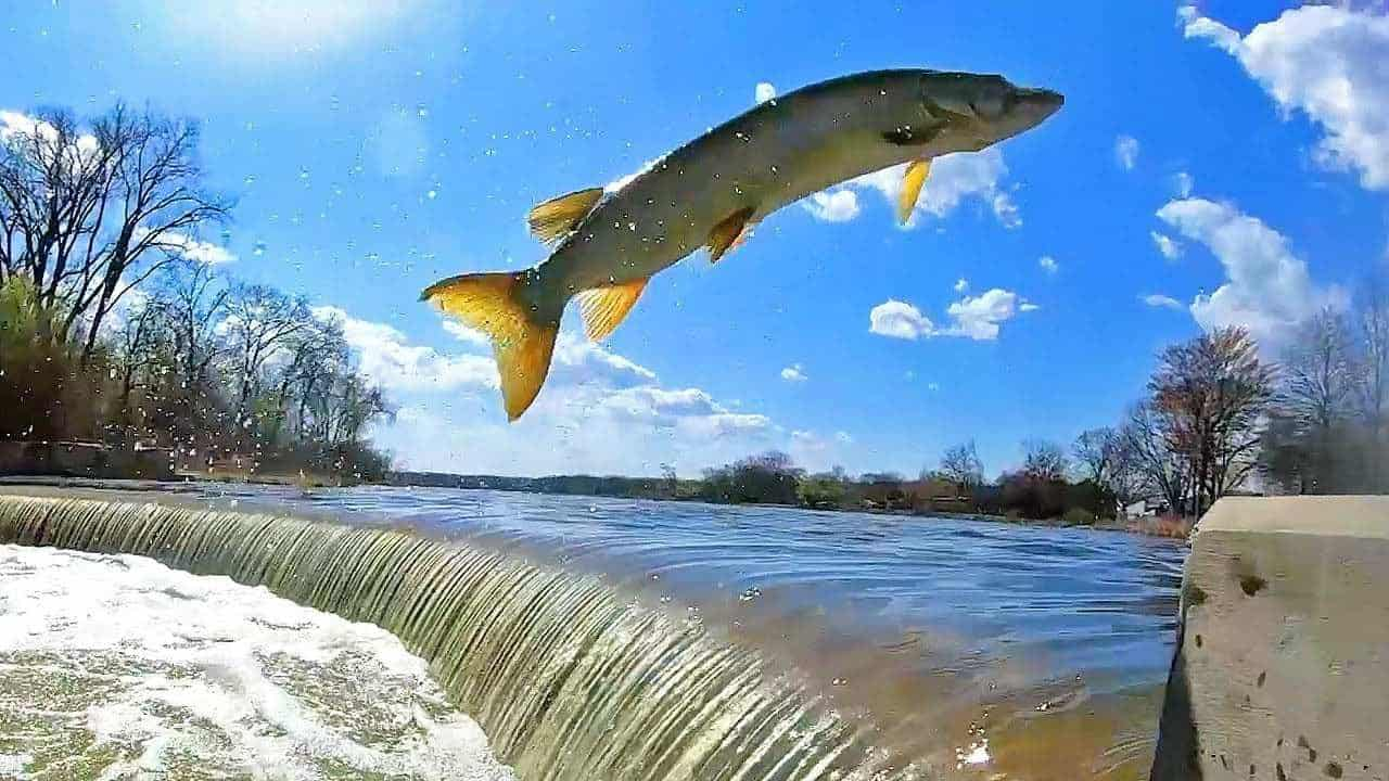 Jumping Muskies HD
