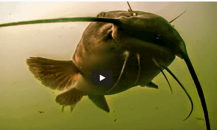 Spring Catfish Spinner Rigging in High Water