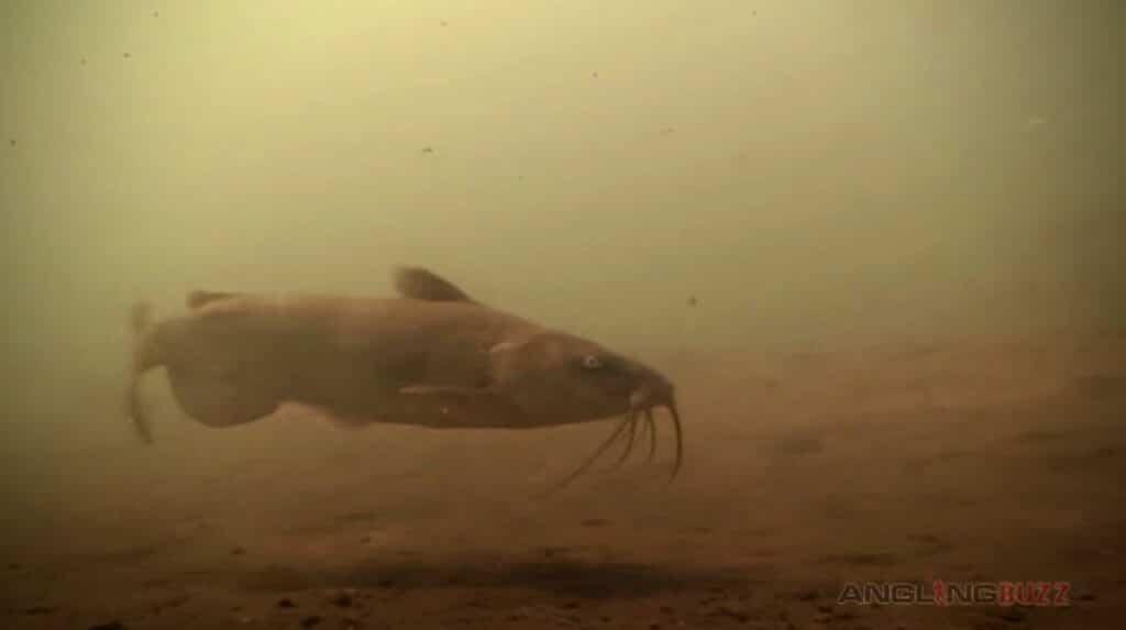 Spring Catfish Spinner Rig
