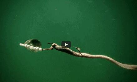 Spinner Rigging for Summer Walleyes