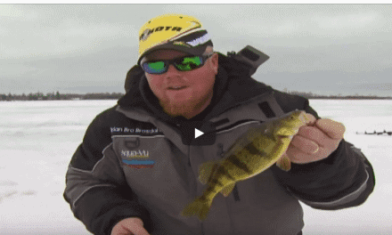 Jumbo Perch and Bull Bluegills at Late Ice