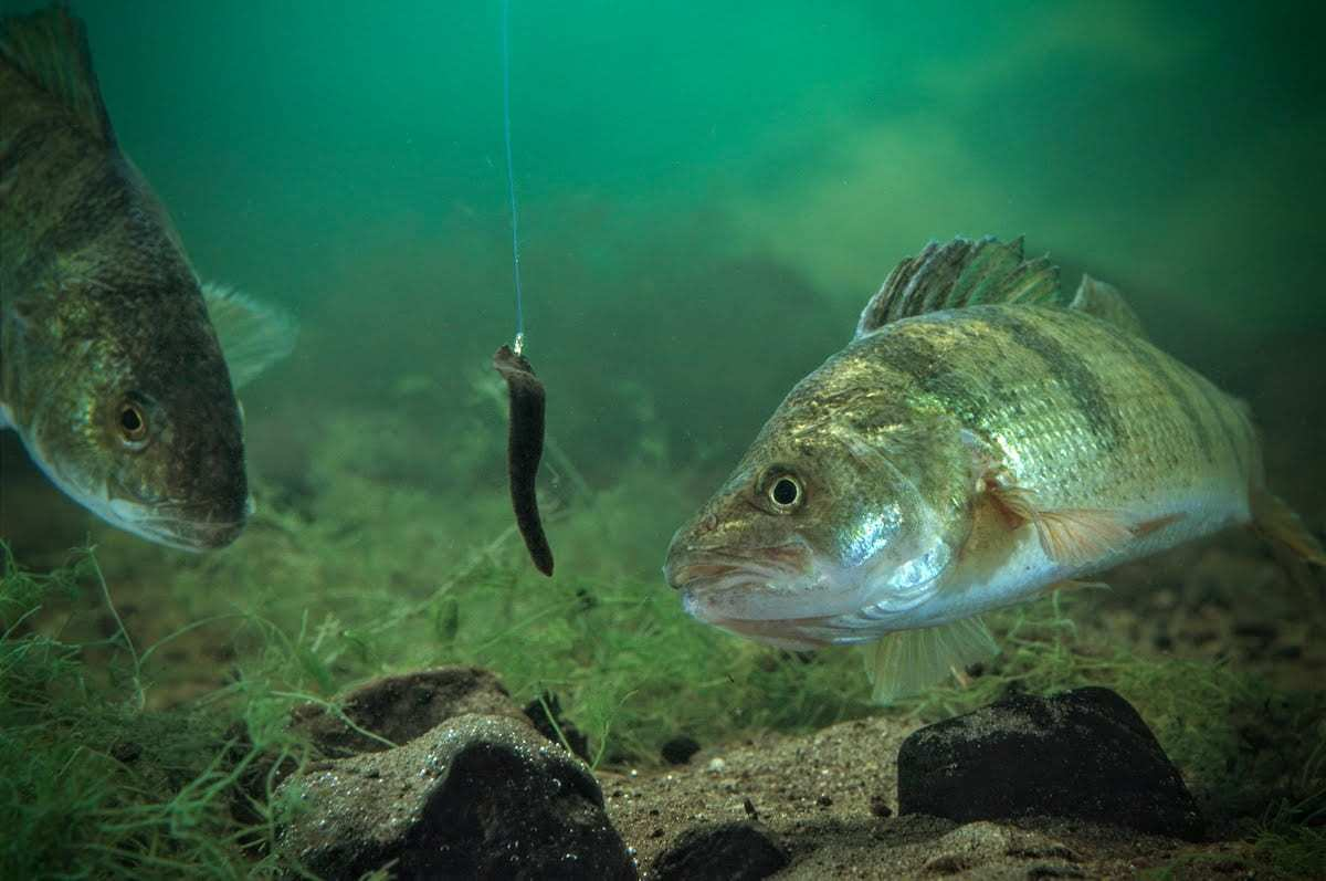 The Impact of Invertebrates on Perch and Walleye Fishing