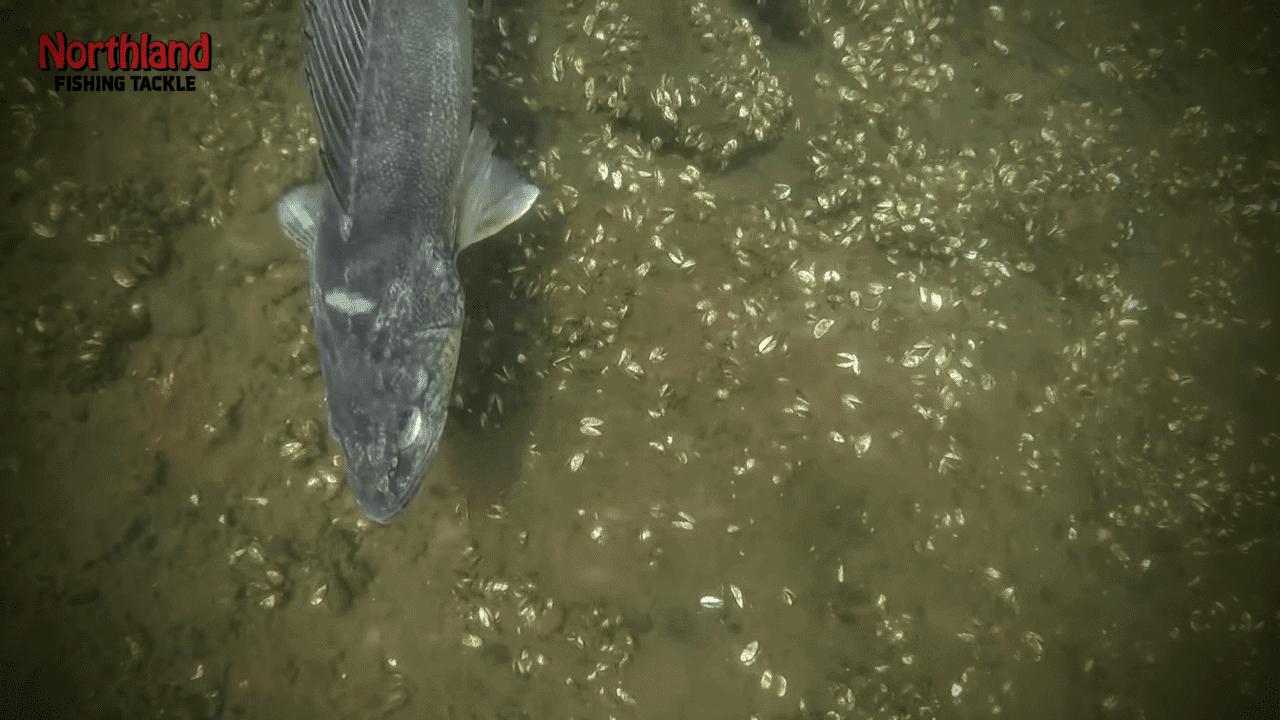 Underwater Walleyes in Clear Water