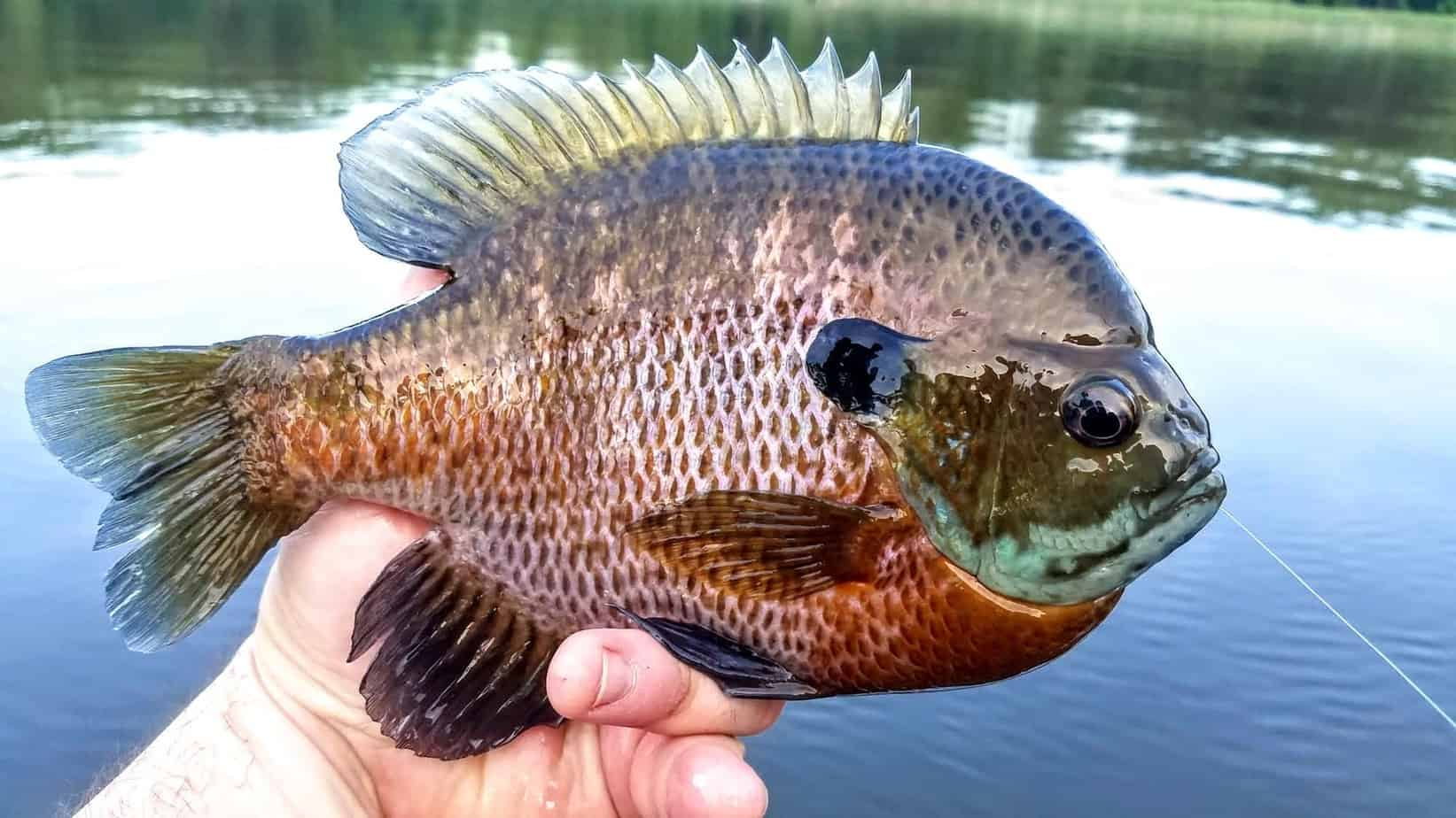 Bluegill Fishing 101 Everything You Need To Know