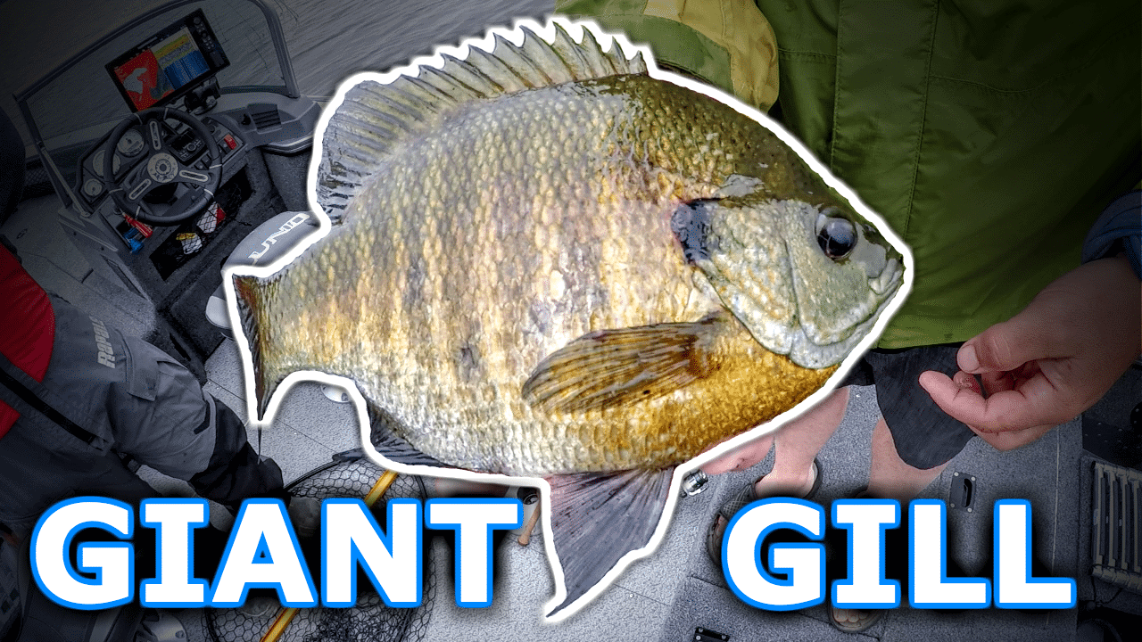 We Caught a GIANT BLUEGILL