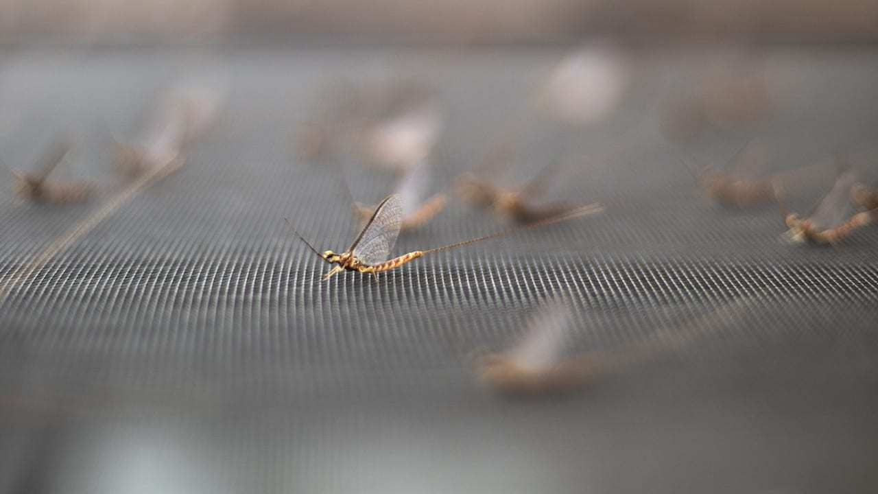 How to Use Bug Hatches to Your Advantage (Mayflies, etc.)