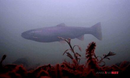 Underwater Kamloop Trout Spawning Run