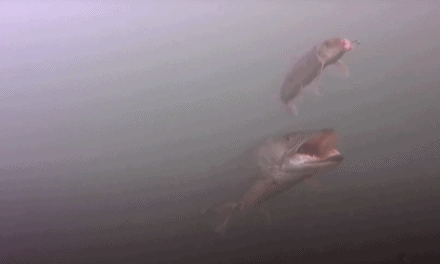 Underwater Footage of a Fall Musky Following a Sucker Rig