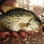 The Best Strategy for Ice-Out Crappies