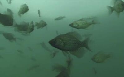 Using Aggressive Baits for Panfish