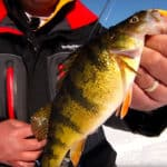 Lure Selection for Bigger Perch