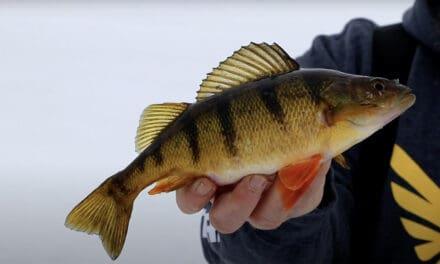Leech Lake Perch Fishing 101 with Brian Brosdahl